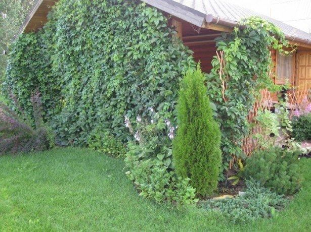 Девичий виноград — выращивание без хлопот и забот