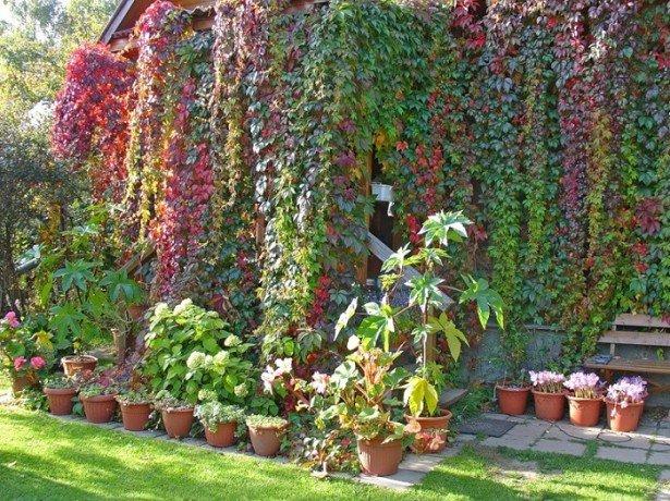 дикий виноград зимой фото