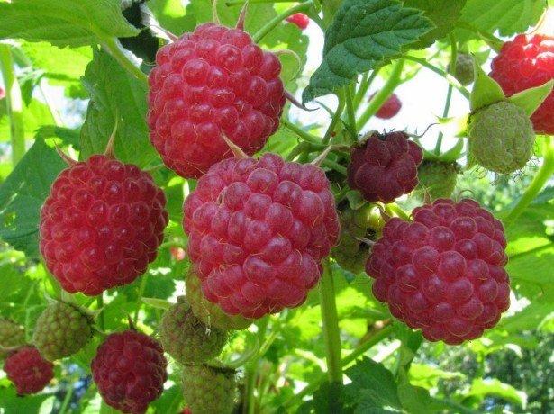 Чем полезна малина и какими витаминами богата?