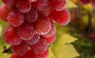 Виноград — полезные свойства плодов и сока для укрепления здоровья