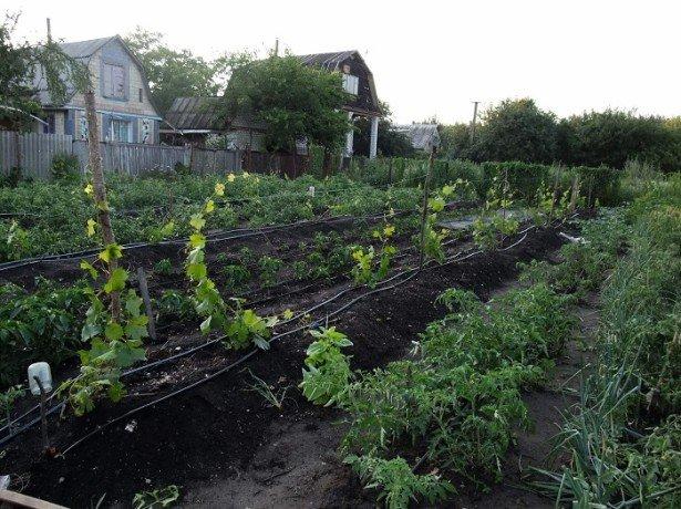Как правильно орошать виноград в летние месяцы? фото