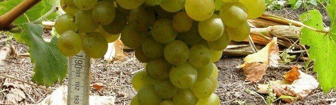 Полив винограда летом — как это делать правильно?