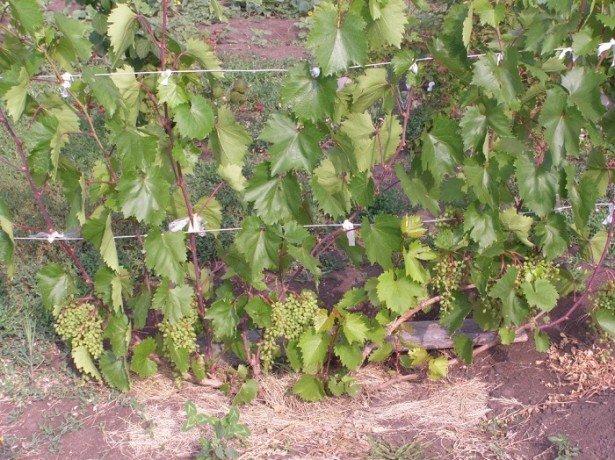 Как ухаживать за виноградом в первый сезон после посадки?