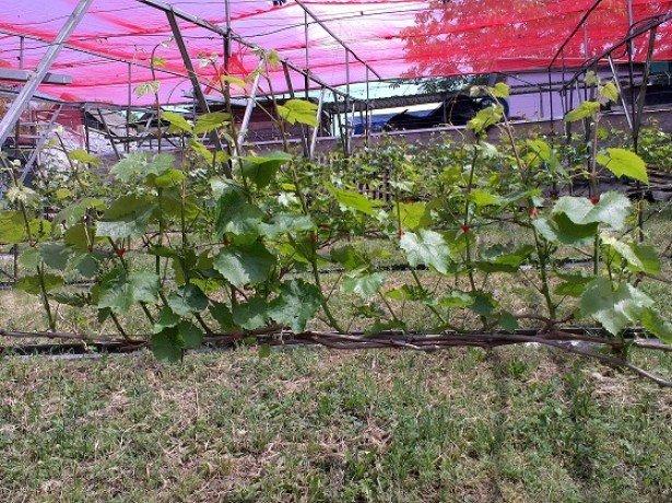 Ежегодный уход за виноградом — обрезка и прочие «зеленые операции»