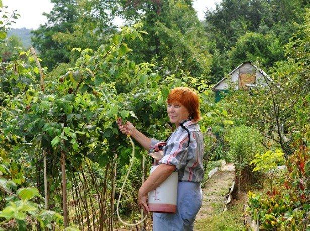 Борьба с вредителями малины проверенными способами