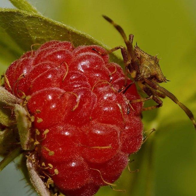 Вредители малины с фото и методы борьбы