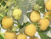 На фото малина желтая