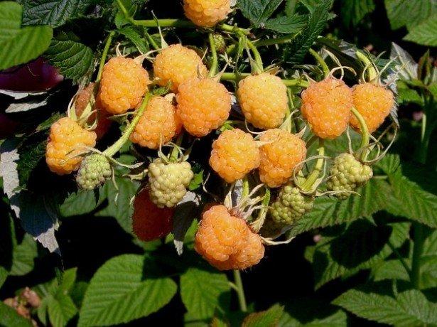 Сорт малины Желтый гигант — плюсы и минусы