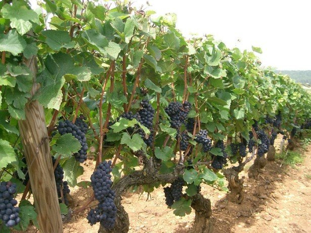 Виноград-видео по выращиванию и уходу 942