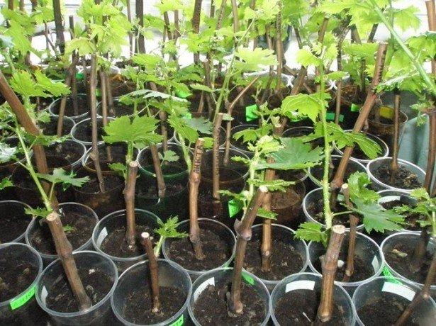 Что нужно учесть перед тем как выращивать виноград? фото