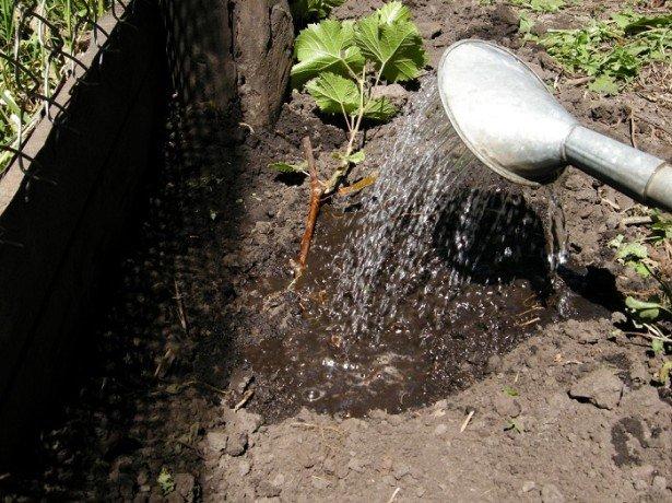 Пошаговая технология выращивания винограда фото