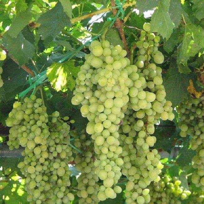 Как правильно выращивать виноград в средней полосе россии?