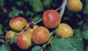 Есть ли смысл в выращивании абрикоса