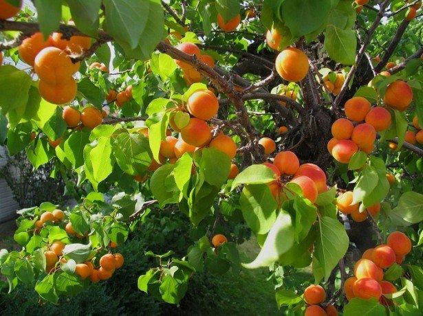 9 полезных свойств абрикоса, отличие от жерделы, польза кураги 11