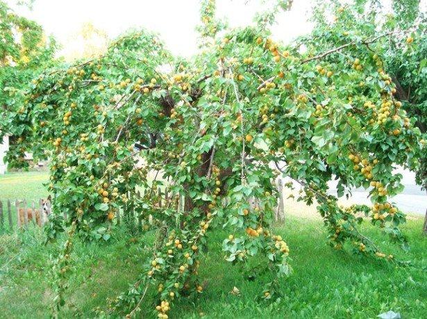 Выращивание и уход за абрикосом в первый год
