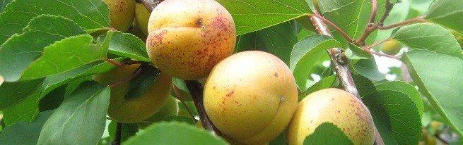 Как вырастить абрикос из косточки и добиться превосходных урожаев?