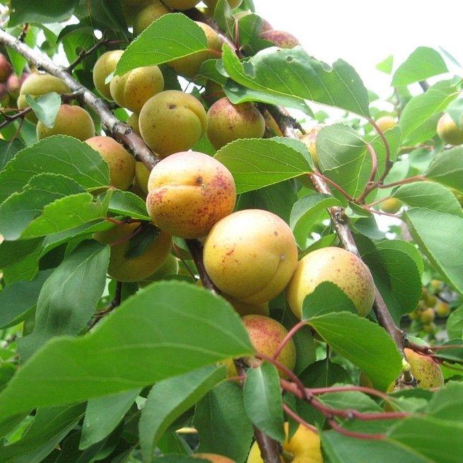 как из косточки абрикоса вырастить дерево