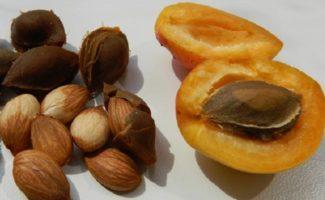Косточки абрикоса - польза или вред и за что ценятся абрикосы?