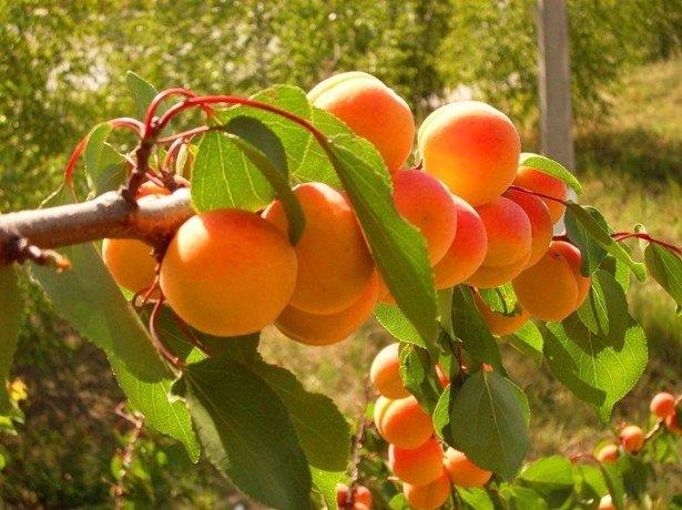 Ценность абрикоса