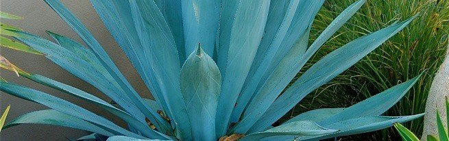Агава - лечебные свойства этого удивительного растения помогут справиться с недугами!