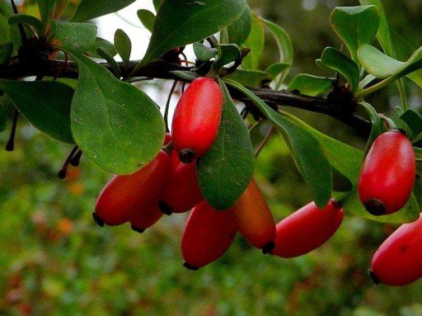 Как размножается барбарис – основные методы