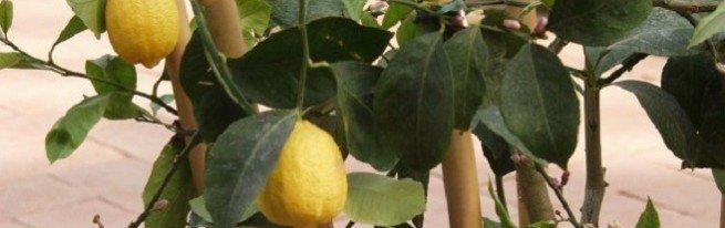 Как посадить лимон, чтобы гарантированно получить плоды?
