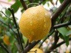 Лимон - уход в домашних условиях для настоящих цветоводов