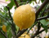 На фото лимон
