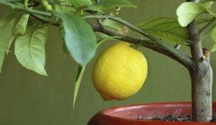 саженцы лимона купить комнатный лимон в городе херсоне на