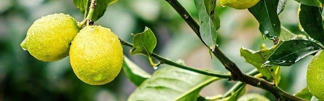 Пересадка лимона в домашних условиях – как не навредить?