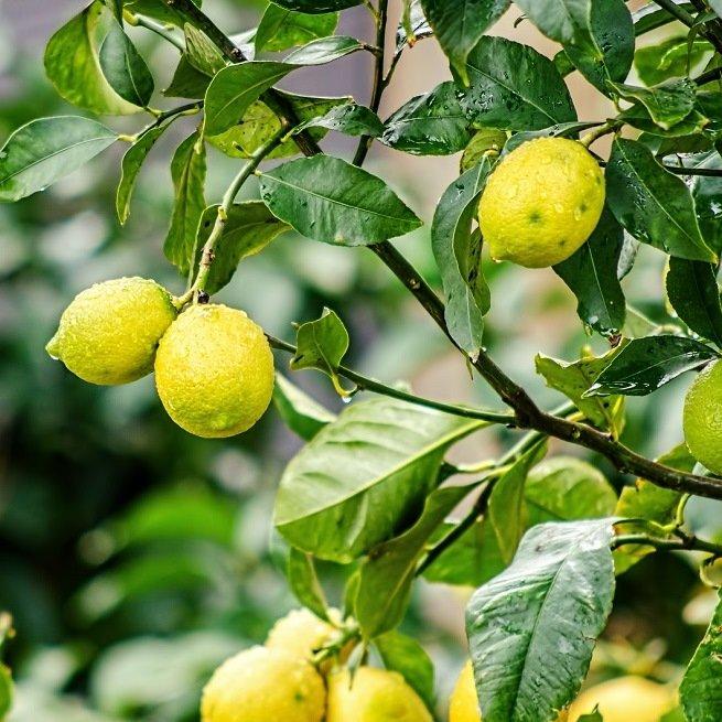 Как пересадить лимон в домашних условиях? Простая инструкция по пересадке лимона в другой горшок (80 фото   видео)