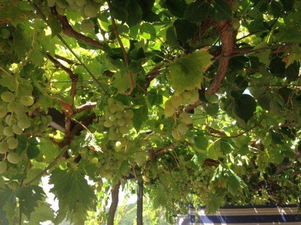 Виноград в домашних условиях – температурный режим фото
