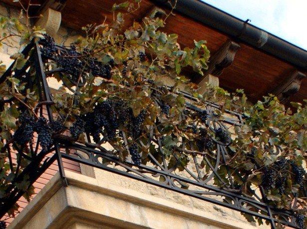 Фотография винограда на балконе