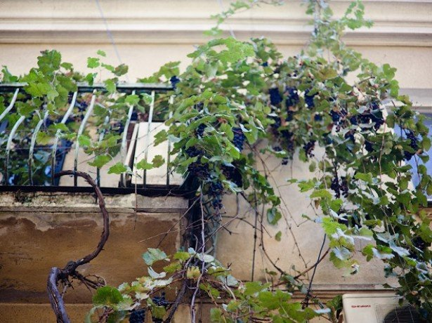 Виноград в домашних условиях – температурный режим