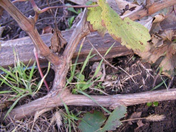 Обрезка и укрытие винограда на зиму видео