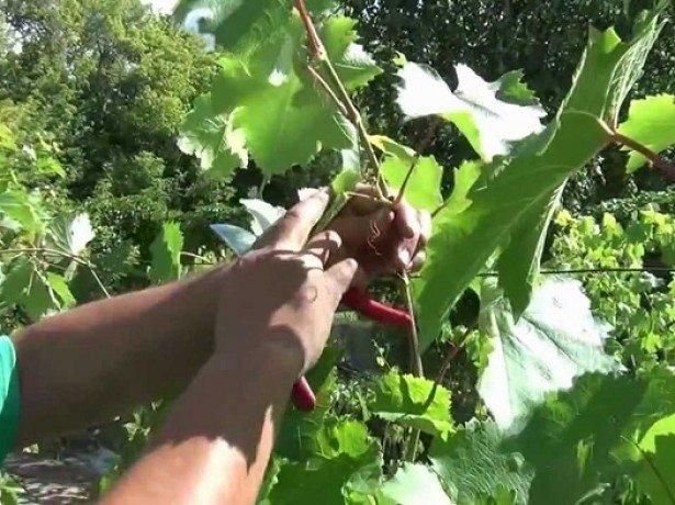 Как подготовить к зиме виноград и повысить его зимостойкость? фото