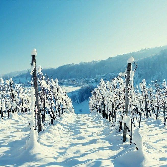 Фотография виноградника зимой
