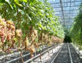 Фото виноградника в теплице