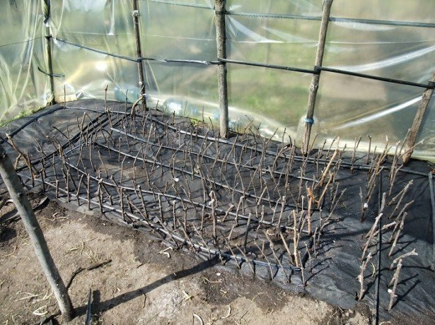 Особенности ухода за растущим в теплице виноградом