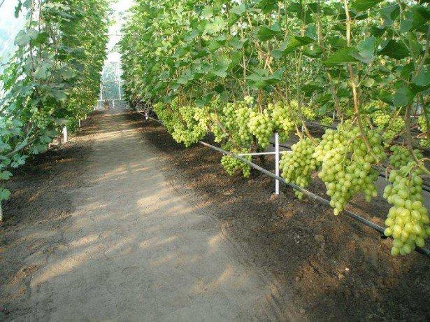 Где лучше посадить виноград в открытом грунте или в теплице?