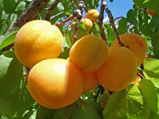Выбираем абрикосы на курагу