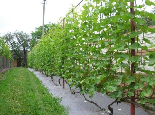 Одноплоскостная шпалера для винограда своими руками