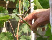 На фото прививка винограда