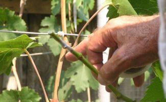 Прививка винограда как способ профилактики болезний и стимулирования плодоношения и когда нужно привить виноград от страшных болезней