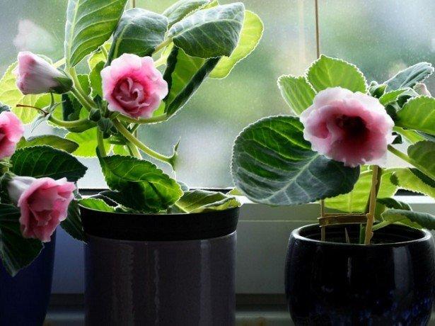 На фотографии глоксиния на окне