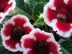 Великолепная глоксиния - уход в домашних условиях за экзотическим цветком Амазонки