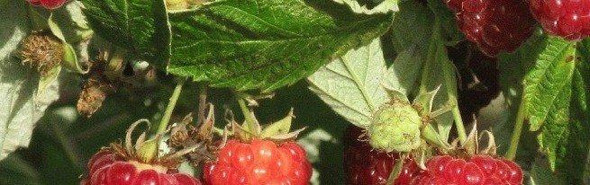 Когда лучше сажать малину или что предпочитает красная ягодка?
