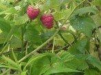 Листья малины и от температуры избавят, и родить помогут