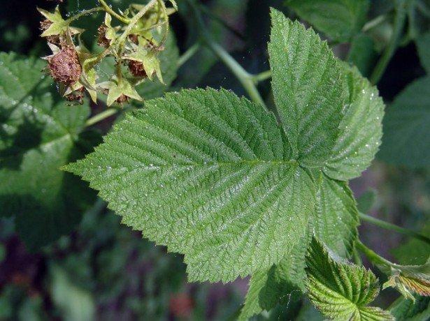 листья малины полезные свойства в гинекологии