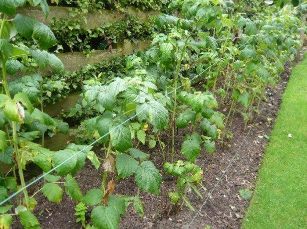 Сроки осеннего укрытия и весеннего раскрытия малины